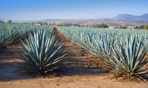 Is Agave Syrup Worse For You Then High Fructose Corn Syrup?